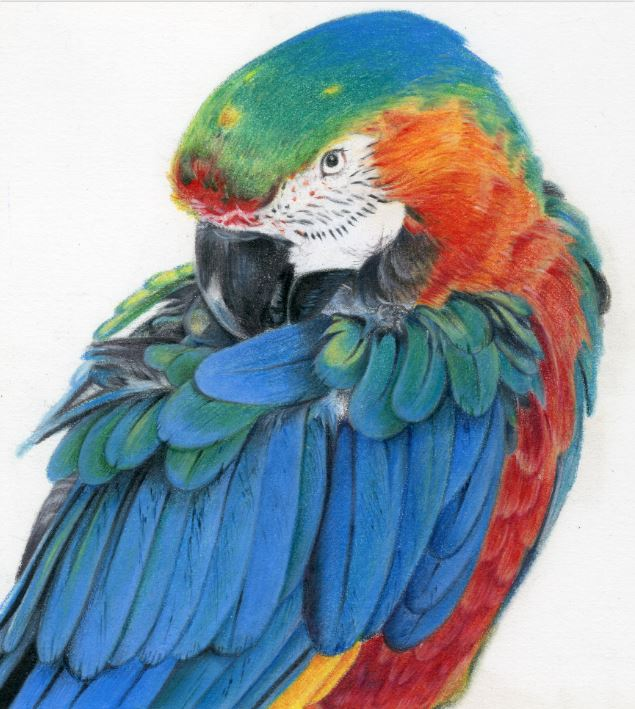 Colored pencil drawing of parrot